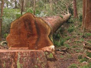 大杉が伐採